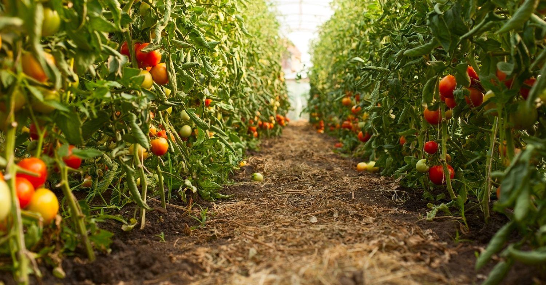 Plantar tomate en huerta