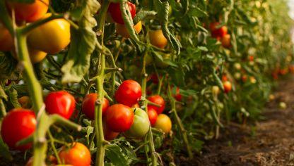 cmo plantar tomates en la huerta