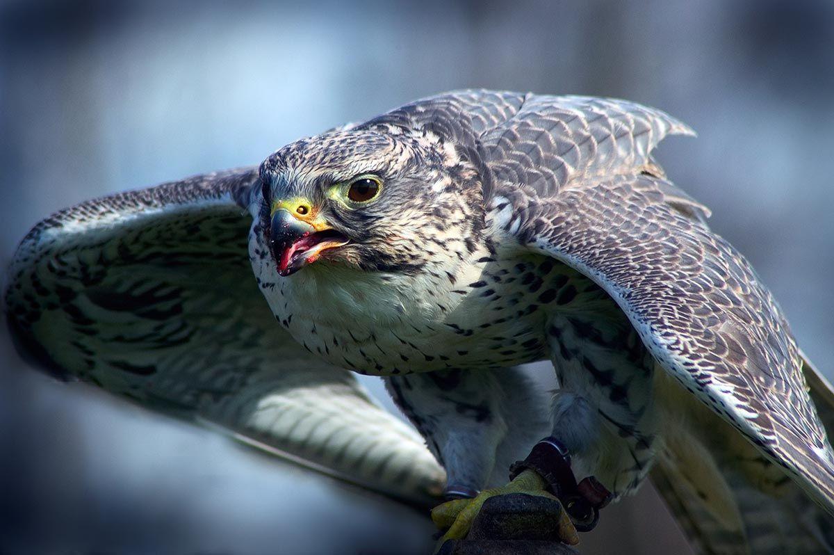 halcón planeador cherrug