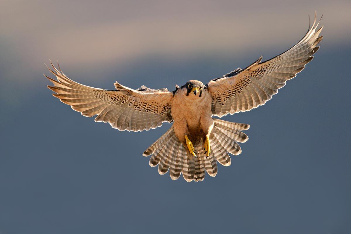 halcón planeador bornis