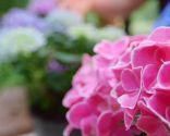 Cómo potenciar el color de las flores de las hortensias - Abono específico hortensias otras variedad