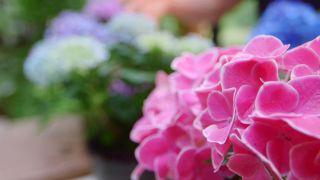 Variedades de hortensias azules 5