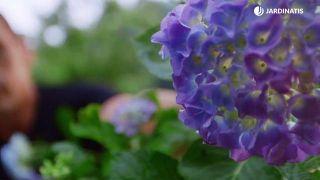 Variedades de hortensias azules 1