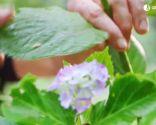 Cómo potenciar el color de las flores de las hortensias - Perdida de color de azul intenso a rosa