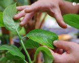 Cómo potenciar el color de las flores de las hortensias - Perdida de color de las hojas
