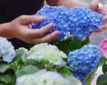 Cómo potenciar el color de las flores de las hortensias - Hortensias de azul intenso