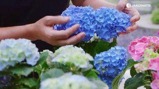 Hortensias de azul intenso