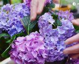 Cómo potenciar el color de las flores de las hortensias - Variedades lilas