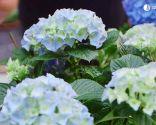 Cómo potenciar el color de las flores de las hortensias - Hortensia magical