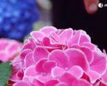 Cómo potenciar el color de las flores de las hortensias - Hortensias de rosa intenso