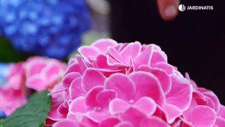 Hortensias de rosa intenso