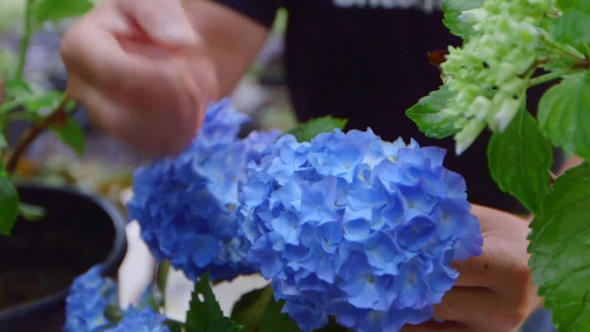 Como Potenciar El Color De Las Flores De Las Hortensias Bricomania - Color-hortensia