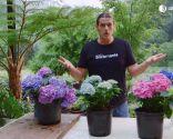 Cómo potenciar el color de las flores de las hortensias - Variedades