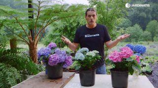 Potenciar el color de las flores de las hortensias