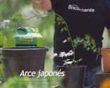 Cómo crear un tronco en espiral - Arce japonés