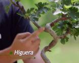 Cómo crear un tronco en espiral - Higuera