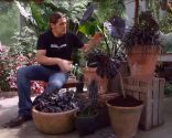 Strobilanthes anisophyllus Brunetti - Composición con plantas de hoja negra