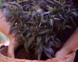 Strobilanthes anisophyllus Brunetti - Cuidados
