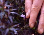 Strobilanthes anisophyllus Brunetti - Flor