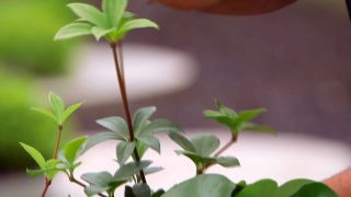 variedades de peperomias