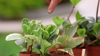 brico-918-3-variedades-peperomia-variegada
