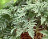 Plantación de helechos en cestos colgantes - Helecho araña