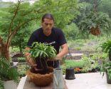 Plantación de helechos en cestos colgantes - Plantación en cesto de fibra de coco