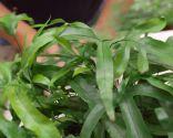 Plantación de helechos en cestos colgantes - Plantación de helecho colgante