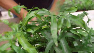 Plantación con helechos