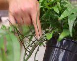 Plantación de helechos en cestos colgantes - Raíces de helecho colgante