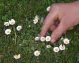 Herbicidas para el césped y el jardín - Margaritas en el césped