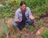 Herbicidas para el césped y el jardín - Raíz correhuela