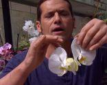 Eliminar plaga de cochinillas en orquídeas - Cochinillas flor orquídea