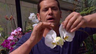 ¿cómo se elimina la plaga de cochinillas en las orquídeas?