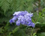 Composición de verano en tonos azules con plumbago capensis -  Plumbago capensis