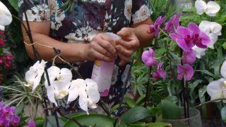 Reproducir orquídeas a partir del tallo floral