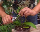 Cómo reproducir orquídeas a partir del tallo floral - Cortar planta