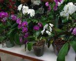 Cómo reproducir orquídeas a partir del tallo floral - Phalaenopsis