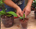Cómo reproducir orquídeas a partir del tallo floral - Plantar hijuelo