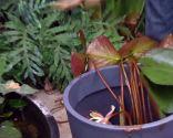 Cultivar nenúfares en contenedor - Paso 4