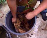 Cultivar nenúfares en contenedor - Paso 5