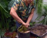 Cultivar nenúfares en contenedor - Paso 6