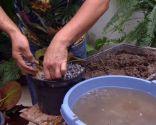 Cultivar nenúfares en contenedor - Paso 7
