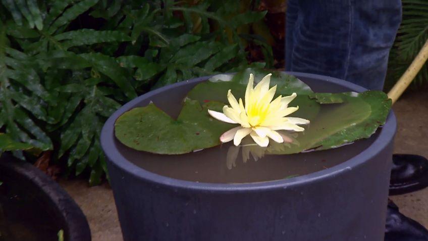 cultivar nenúfares en contenedor - decogarden
