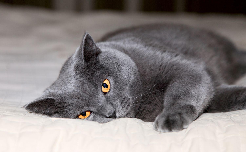comida de un gato castrado