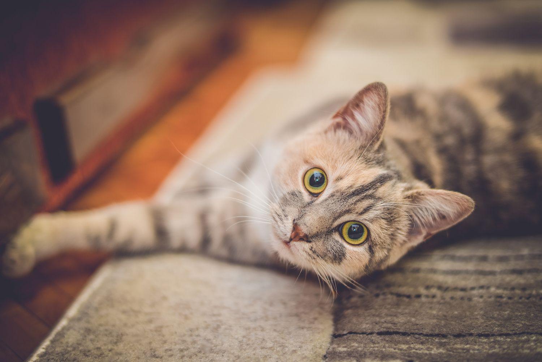 gato castración