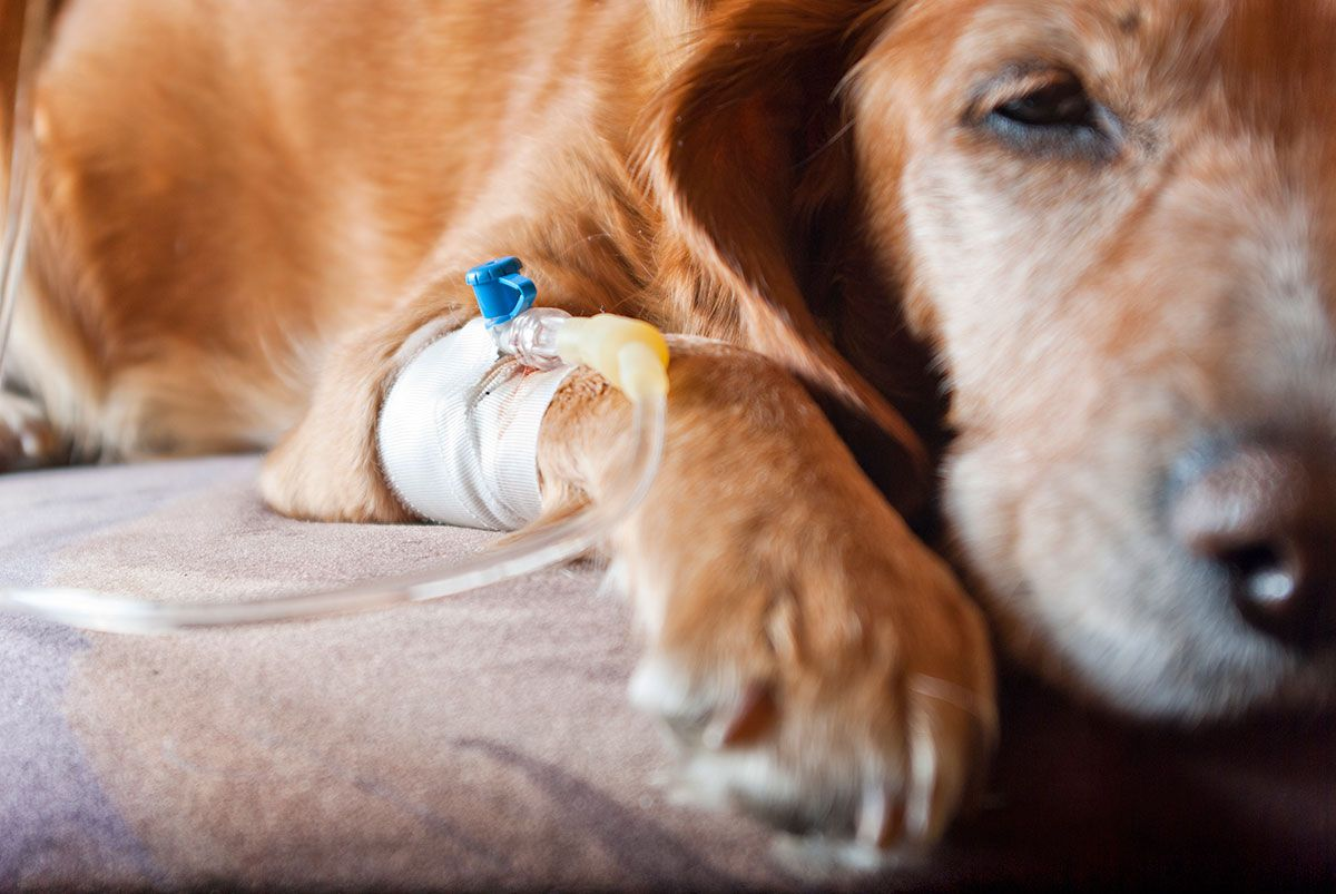 mascotas intoxicación