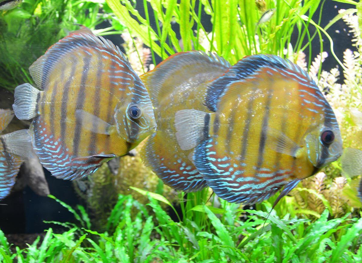 pez disco comportamiento