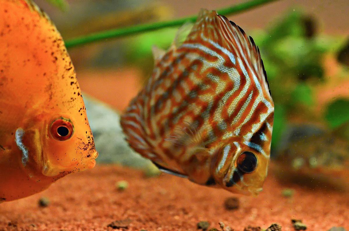 pez disco alimentación