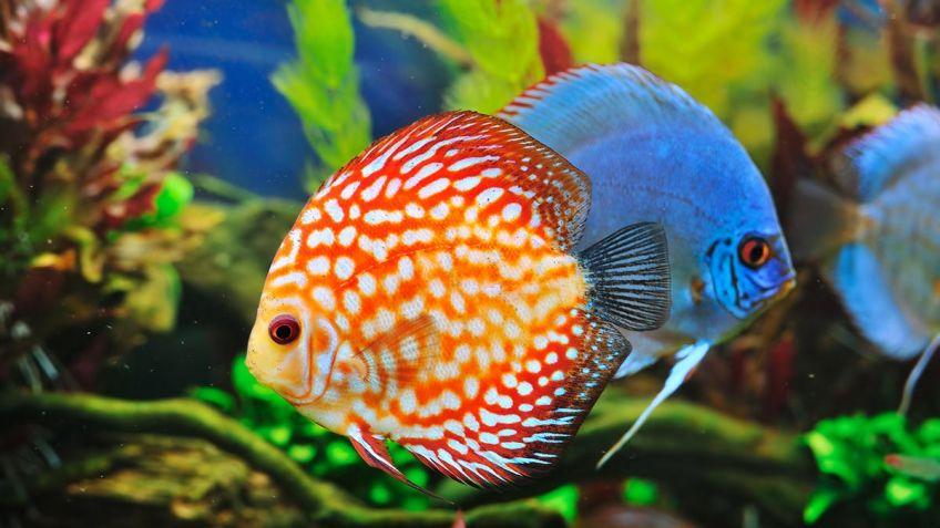 Pez disco el rey de los peces de acuario hogarmania for Peces de colores para acuarios